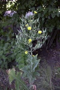 Prickly Lettuce - Lactuca serriola