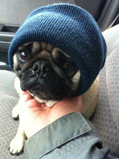 "lady-jill:  Thug Pug says ""Pugs, not drugs."""