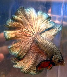 Breeder's Showcase - BettySplendens.com