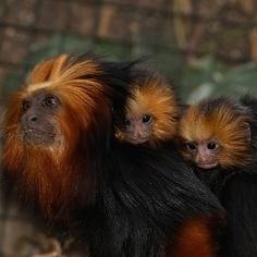 Les tamarins-lions à tête dorée du zoo de La Palmyre ont accueilli une portée de deux bébés. Leurs grands yeux vifs et leur moue adorable les rendent absolument craquants.  Comme tous les petits singes, ils restent accrochés au dos de leur mère, mais peuvent également être portés par leur père.