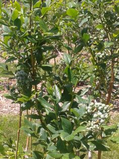Another blueberry bush with some great looking berries on it. Can't wait for them to ripen! 6.6.14