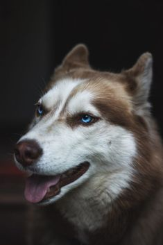 Siberian Husky Siberian Husky Blue Eyes, Husky With Blue Eyes, Siberian Husky Puppies, Siberian Huskies, Blue Husky, Husky Pet, Baby Huskies, Wolf Husky, Corgi Puppies