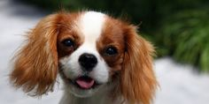 Cavalier King Charles Spaniel--Love this dog, need another baby