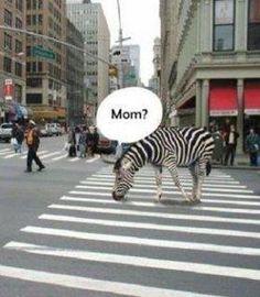 Zebra downtown!