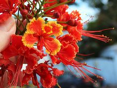 Vacation in Key West!   Pride of Barbados, an ever-blooming shrub for iconic tropical color.     Pride of Barbados / Caesalpinia pulcherrima