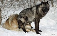 black wolf | Tumblr