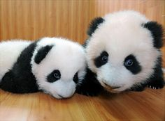 Two of a kind - these Giant pandas were the first twins delivered in 2008.