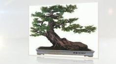 http://www.balconybonsai.com.au/bonsai-gardening-secrets