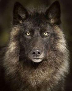 Loup Noir,,vraiment splendide <3 ***