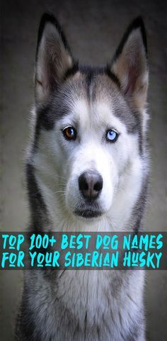 Best Dog Names For Your Siberian Husky Husky Names Siberian