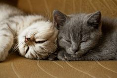 Lovely cat for you Kittens And Puppies, Cats And Kittens, Kitty Cats, Nyan Nyan, British Shorthair, Puppy Pictures, Crazy Cat Lady, Cat Life, Kittens Cutest