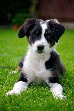 Cute border collie pup
