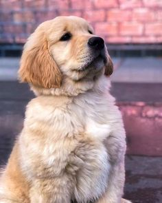 Golden Retriever Puppy - flats and other sweeties - Hunde Cute Puppies, Cute Dogs, Dogs And Puppies, Doggies, Fox Terriers, Golden Retrievers, Chien Golden Retriver, Labrador Puppy Training, Labrador Puppies