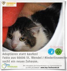 """Fabio wartet im Tierheim Linxbachhof.  Fabios Alter ist bislang ein Rätsel und da er Träger von """"Katzenaids"""" ist, wird er nur in EInzel- und Wohnungshaltung vermittelt."""