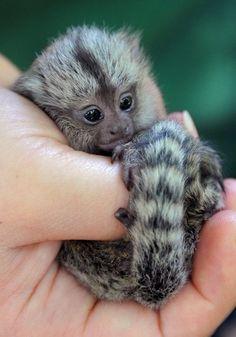 Cute Biology: cool-critters:   Pygmy marmoset (Cebuella pygmaea)...