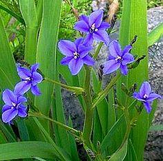 Aristea ecklonii Blue Stars Iris 25 seeds vibrant by SmartSeeds Blue Plants, Alpine Plants, Agapanthus, Garden Borders, Drought Tolerant, Go Green, Botanical Gardens, Garden Plants, Evergreen