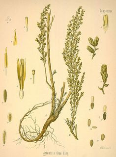 Illustration of Epazote - Wormseed Its old pharmaceutical name was Herba Chenopodii Ambrosioides.