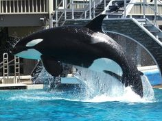 Kasatka is a Killer Whale at SeaWorld San Diego. She has attacked one trainer. He survived a broken foot and small injuries.  Whale attacks have never occurred in the wild.