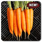 "Organic Miami F1 Hybrid Carrot - Well-adapted as either an early or a main season carrot, Miami produces consistently uniform, cylindrical 6"" long roots that tend to get stout as they mature. Feathery, attractive tops make for nice fresh market bunches. Nice crunch with carroty flavor. One of the sweetest varieties in our 2012 fall carrot trials."