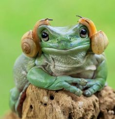 Cute and Adorable Princess Leia Frog Credit: Tanto Yansen Indonesia Funny Frogs, Cute Frogs, Nature Animals, Animals And Pets, Lazy Animals, Wild Animals, Wildlife Nature, Beautiful Creatures, Animals Beautiful