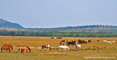 Wild horses in Grand Teton National Park
