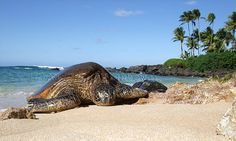 Green Sea #Turtle #Lanikai #Kailua #Oahu #Hawaii
