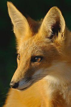 Red Fox by William Jobes Fantastic Fox, Fabulous Fox, Most Beautiful Animals, Beautiful Creatures, Fennec, Wolf Hybrid, Fox Art, Cute Fox, Mundo Animal