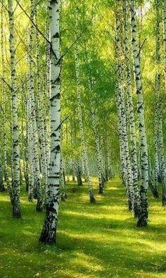 Our Beautiful Nature Beautiful Nature Pictures, Amazing Nature, Beautiful Landscapes, Beautiful Gardens, Watercolor Landscape, Landscape Art, Wonderful Places, Beautiful Places, Birch Tree Art
