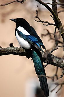 I ❤ birds . Eurasian Magpie or European Magpie or Common Magpie (Pica pica) Pretty Birds, Love Birds, Beautiful Birds, Eurasian Magpie, Pie Bavarde, Jackdaw, Crows Ravens, Rabe, Colorful Birds
