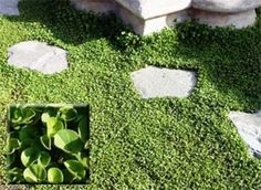 Dichondra Repens Seeds-stays neat all year with no mowing! ½ ounce,6,065 seeds