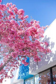 Cherry Blossom Season in LA.