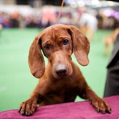 """thedogist: """" Dixie, Redbone Coonhound, Westminster Kennel Club Dog Show """" Fear Of Dogs, Redbone Coonhound, Thing 1, Hound Dog, Dog Show, Dog Photography, Dog Love, Dogs And Puppies, Doggies"""