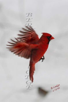 getting a cardinal tattoo on my rib cage