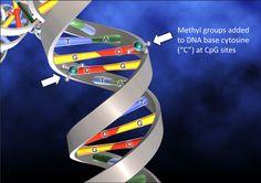 DNA Methylation, a key factor in epigenetics