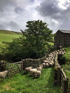 Swaledale Sheep, Swaledale, North Yorkshire, England. Photo by Amanda Owen.