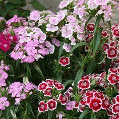 Sweet William 'Indian Carpet Mix' (Dianthus barbatus)
