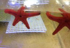 Starfish / Urchin : Burgundy Sea Star