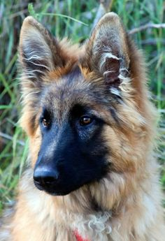 Nothing like a German Shepherd for such regality