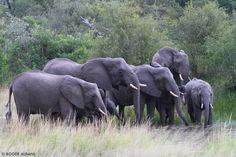 Elephants - Kruger National Park Kruger National Park, National Parks, Big And Beautiful, Lodges, Elephants, South Africa, Safari, African, Spaces