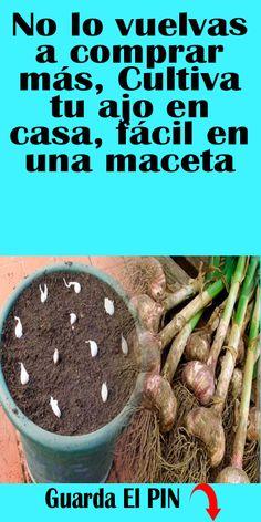 No lo vuelvas a comprar más, Cultiva tu ajo en casa, fácil en una maceta #maceta #ajo #casa Flower Tower, Veg Garden, Growing Herbs, Compost, Good To Know, Planting Flowers, Cactus, Succulents, Patio