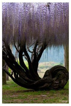 Wisteria tree at Kawachi Wisteria Garden in Fukuoka, Japan. I love Wisteria Wisteria Garden, Wisteria Tree, Purple Wisteria, Wisteria Japan, Wisteria Wedding, Weird Trees, Old Trees, Unique Trees, Nature Tree