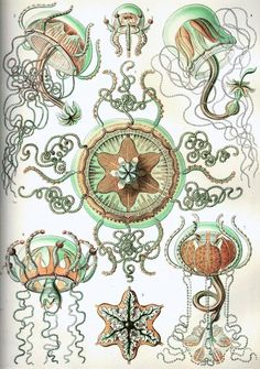 Beautiful illustration of sea life by 19th-century German scientist and artist Ernst Haeckel.