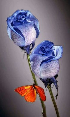 Rosa Azul Cobalt Blue Roses With Orange Butterfly. Beautiful Butterflies, Amazing Flowers, Beautiful Roses, Beautiful Flowers, Pretty Roses, Beautiful Pictures, Beautiful Life, Orange Butterfly, Belle Photo