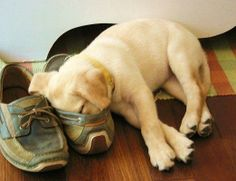 Mind Blowing Facts About Labrador Retrievers And Ideas. Amazing Facts About Labrador Retrievers And Ideas. Animals And Pets, Baby Animals, Funny Animals, Cute Animals, Lab Puppies, Cute Puppies, Cute Dogs, Labrador Retriever, Sleeping Puppies