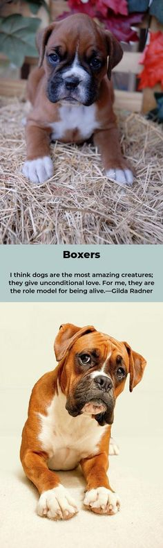 Boxer – Energetic and Funny Boxer Quotes, Dog Love, Puppy Love, Boxer Dog Puppy, Boxers, Terriers, Bulldogs, Fur Babies, Friends