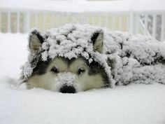 Snow covered Malamute