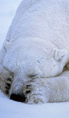 Polar Bear Sleeps Soundly..