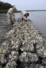 There are various oyster-reef restoration projects going on around the US - in Galveston Bay, in NYC Harbor, Chesapeake Bay, Indian River Lagoon FL, Louisiana, .. but there's a dispute w/ NJ DEC on one side & Baykeeper & Rutger University on the other hoping to rebuild historic oyster reefs in Raritan Bay (read discussion). Baykeeper requests DEC to reconsider their ban: http://www.app.com/article/20140129/NJOPINION02/301290017/State-should-reconsider-ban-oyster-research?nclick_check=1