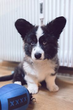 1/2 Cardigan Corgi, 1/2 Teddy Bear