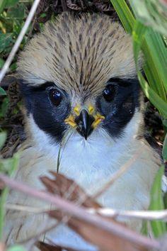 Foto acauã (Herpetotheres cachinnans) por Geremias Pignaton | Wiki Aves - A Enciclopédia das Aves do Brasil